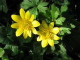 Spring is celandines and blackthorn...