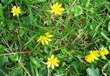 the humble celandine and dandelion