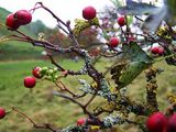 this hawthorn seems confused as to the season