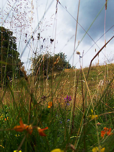 woodland and meadow plants