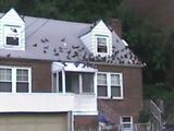 A bad case of pigeons.