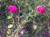 Half-wild tea roses in the yard