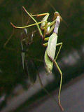 Mantis 2 of 4