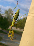 Mantis 3 of 4