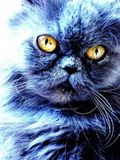 my friend?s blue persa cat and my friend?s little dog